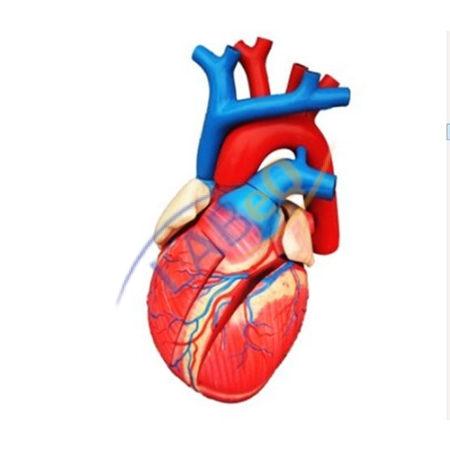 Human Heart 3 Times Life Size Anatomy Model Manufacturer in Ambala.