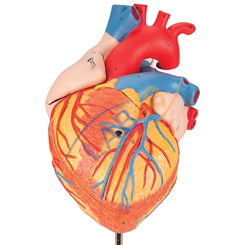 Human heart 4 parts anatomy model manufacturer in ambala haryana human heart 4 parts anatomy model ccuart Image collections