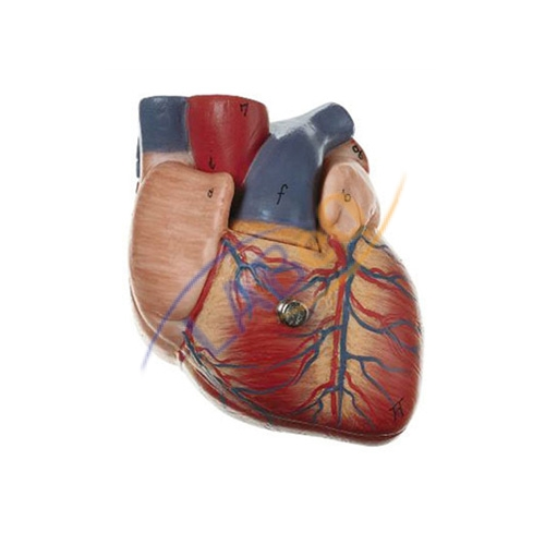 Human heart 7 parts anatomy model manufacturer in ambala haryana human heart 7 parts anatomy model ccuart Image collections