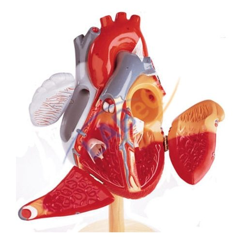 Human heart 3 parts anatomy model manufacturer in ambala haryana human heart anatomy model ccuart Image collections